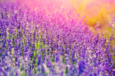Lavender plants in a beautiful field at golden hour.