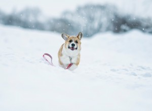 Corgi running through the snow.