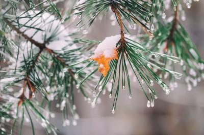 Frozen pine needles in the winter.